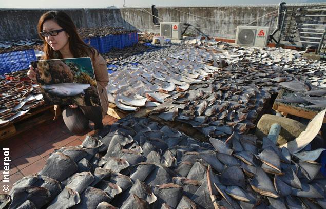 Sharks fins courtesy Interpol